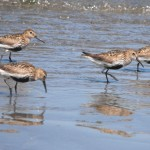 Wading birds on the estuary